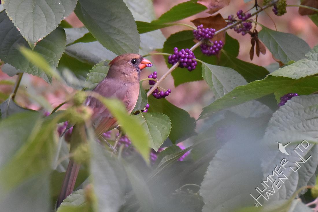 Northern Cardinal  eating Beautyberry (Callicarpa americana) 9-28-17