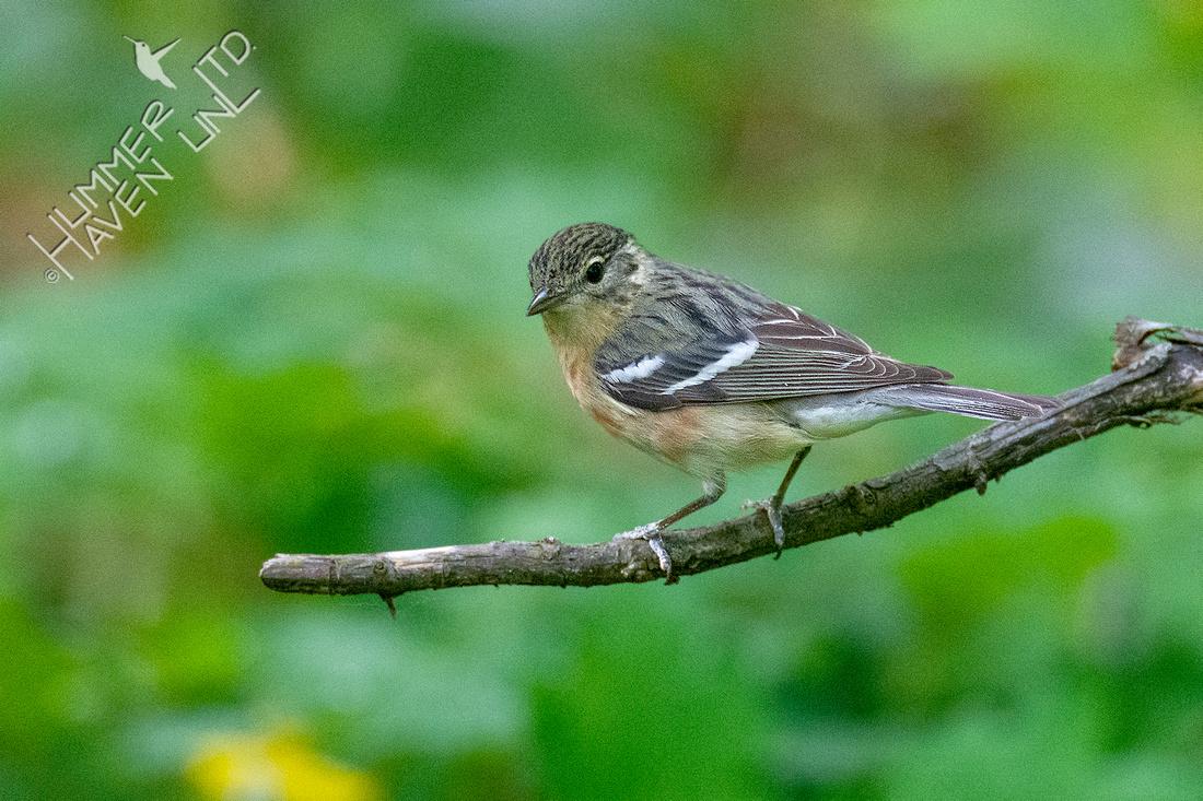 5-20-21 Bay-breasted Warbler female