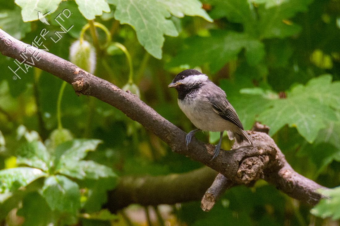 5-21-21 Carolina Chickadee fledgling