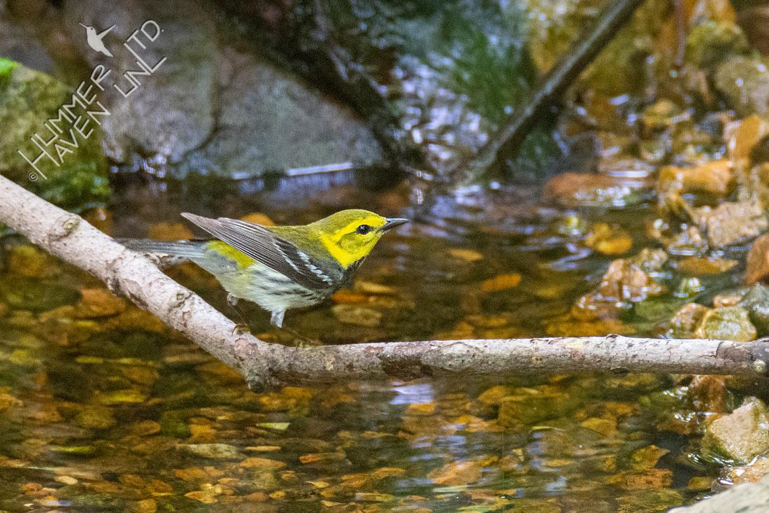 5-27-21 Black-throated Green Warbler female