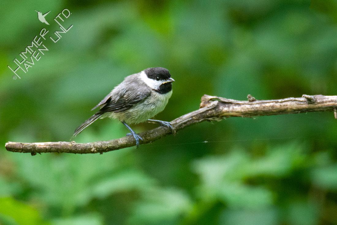 5-27-21 Carolina Chickadee fledgling