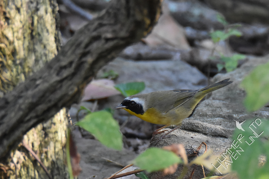 Common Yellowthroat 10-8-17