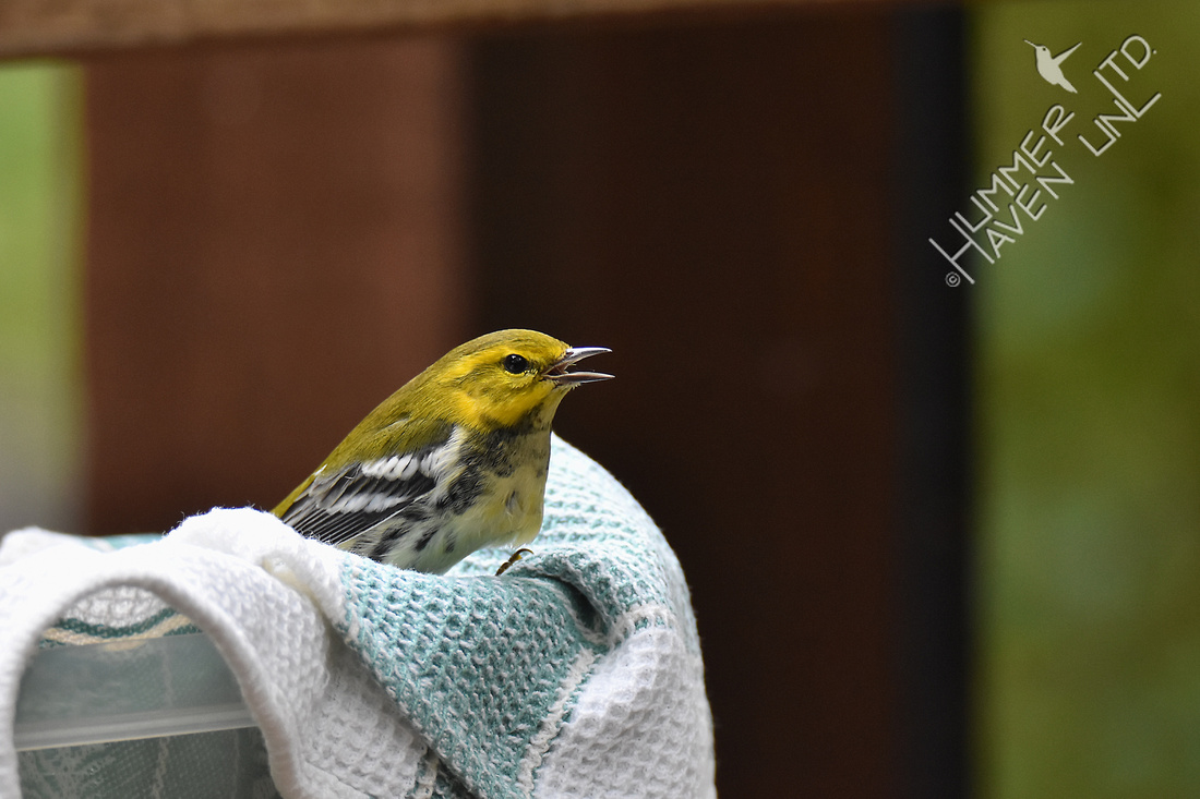 Black-throated Green Warbler - window strike - recovered 10-9-17