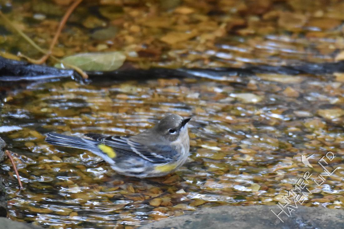 Yellow-rumped Warbler 10-30-17