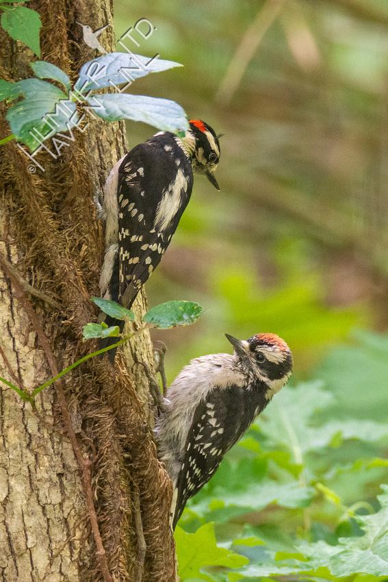 5-31-21 Downy Woodpecker feeding fledgling