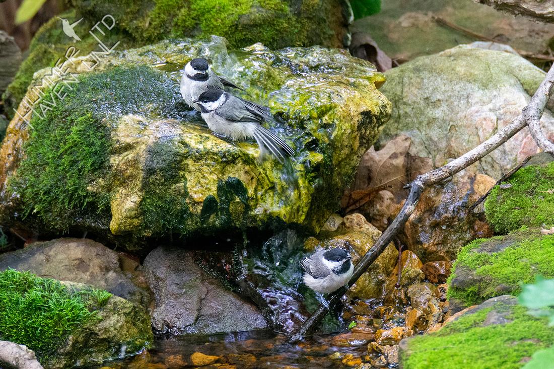 5-31-21 Three of Six Carolina Chickadee fledglings