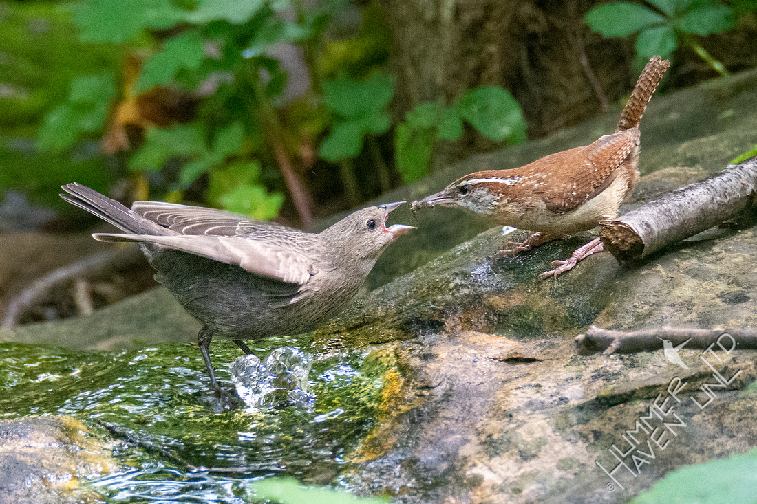 6-6-21 Carolina Wren feeding Brown-headed Cowbird fledgling