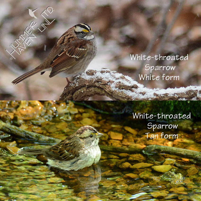 White-throated Sparrows 1-19-16