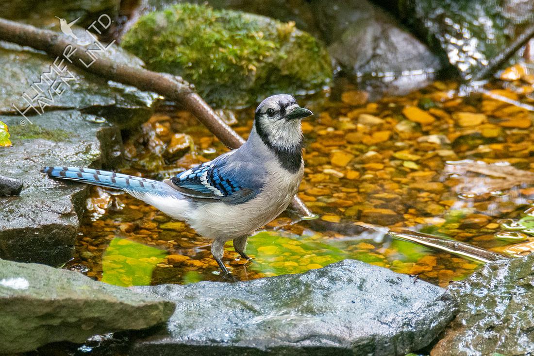 6-30-21 Blue Jay