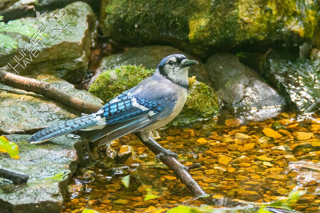 6-30-21 Blue Jay #2