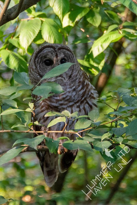 7-4-21 Barred Owl