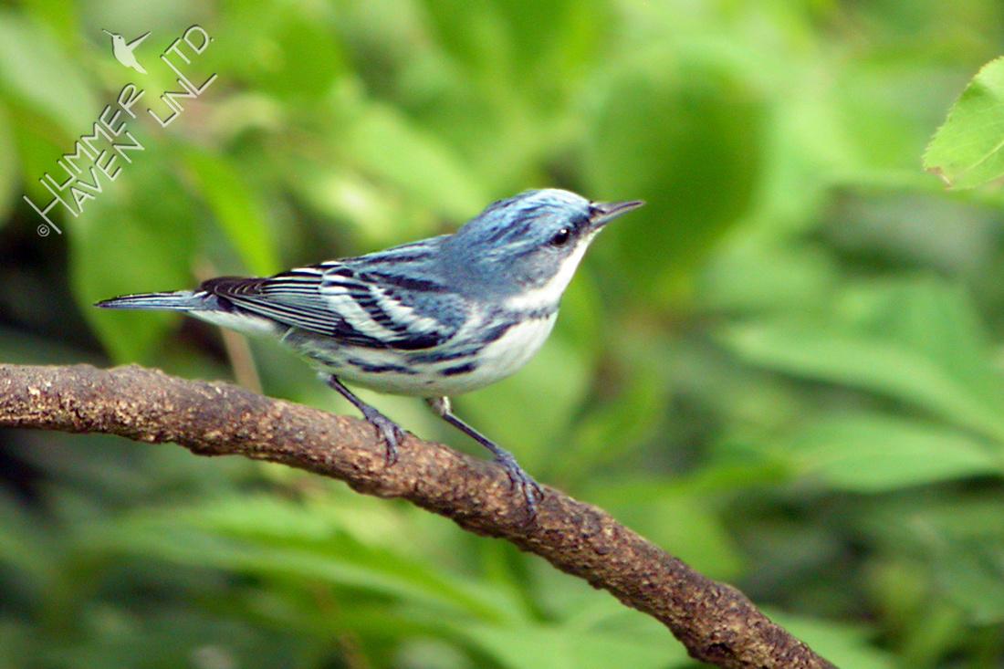 Cerulean Warbler 5-5-07