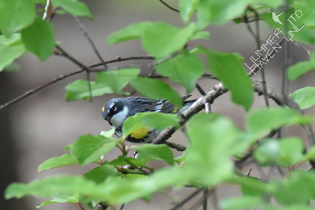 Yellow-rumped Warbler 4-24-17