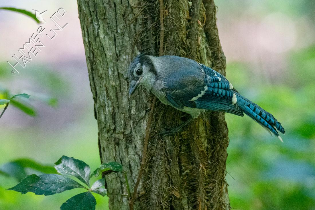 7-6-21 Blue Jay juvenile