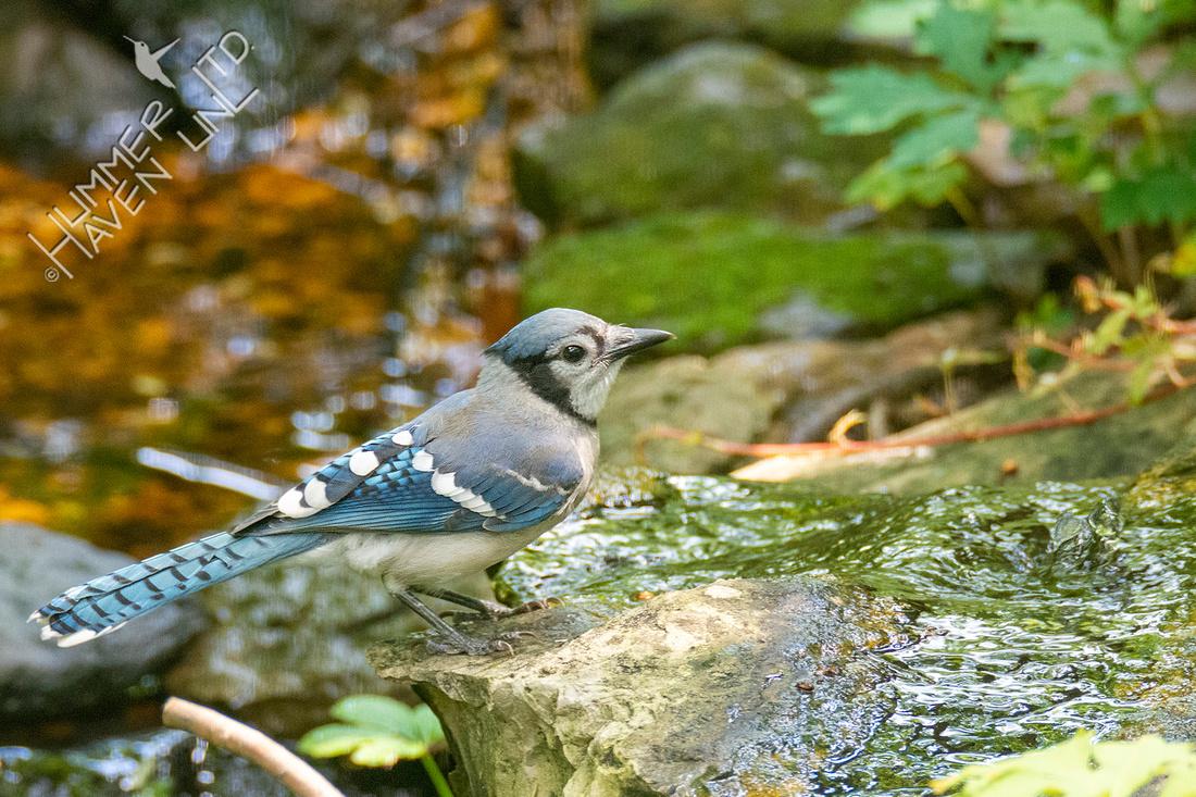 7-7-21 Blue Jay juvenile