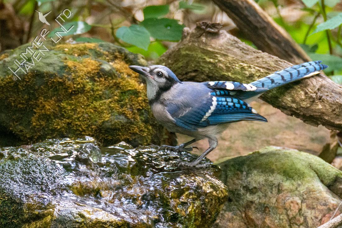 7-7-21 Blue Jay juvenile #2