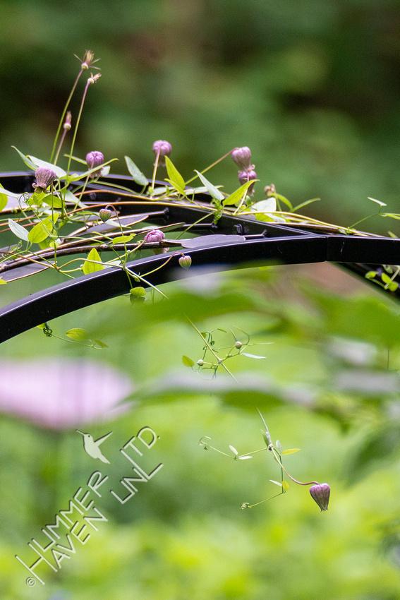 7-13-21 Leatherflower (Clematis versicolor)