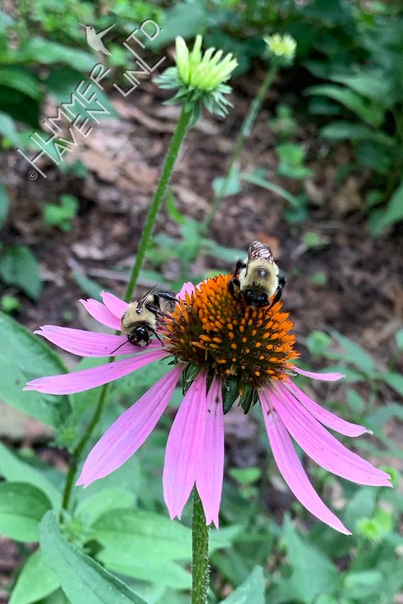 7-2-21 Sleepy bees on Purple Coneflower
