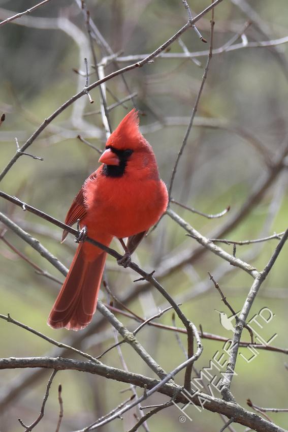 Northern Cardinal 4-6-18