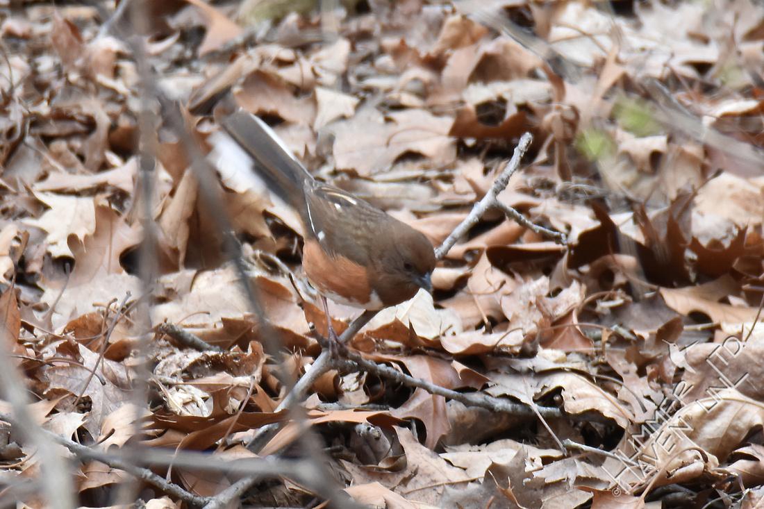 Eastern Towhee female 4-6-18
