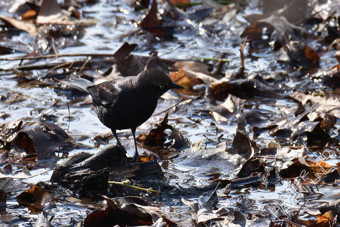 Rusty Blackbird 4-6-18