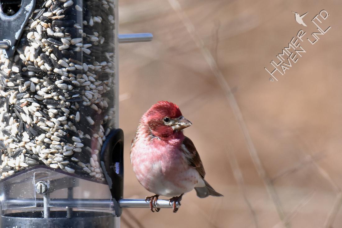Purple Finch 4-7-18