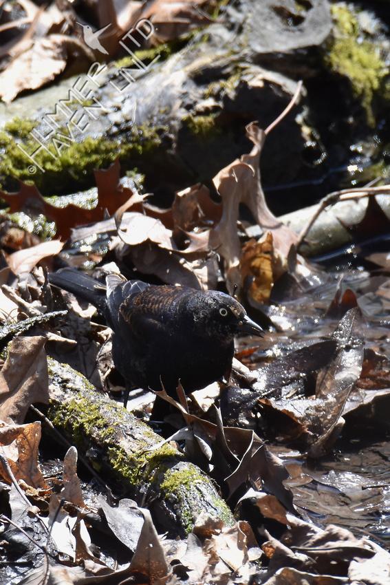 Rusty Blackbird 4-7-18