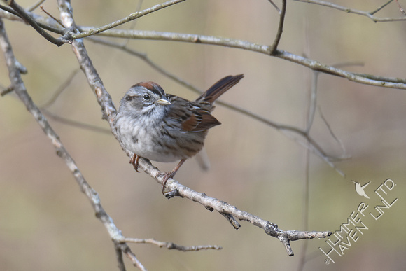 Swamp Sparrow on American Elm (Ulmus americana)  4-11-18