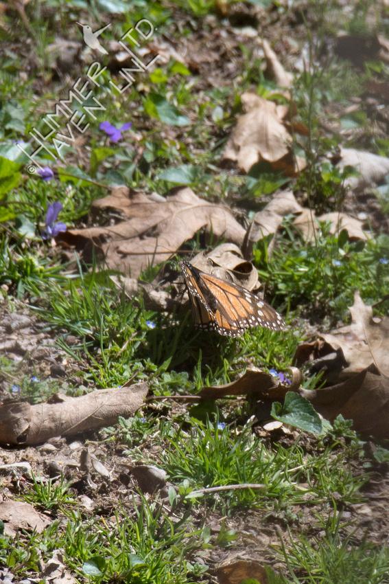 FOY Monarch female 4-20-18