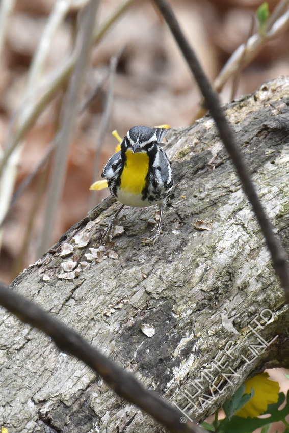 FOY Yellow-throated Warbler 4-21-18
