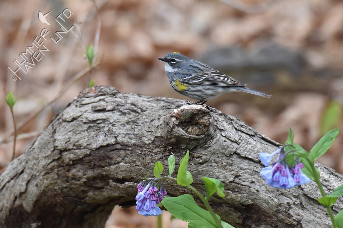 Yellow-rumped Warbler 4-22-18