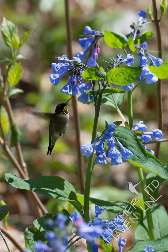Ruby-throated Hummingbird at Virginia Bluebells (Mertensia virginica) 4-28-18