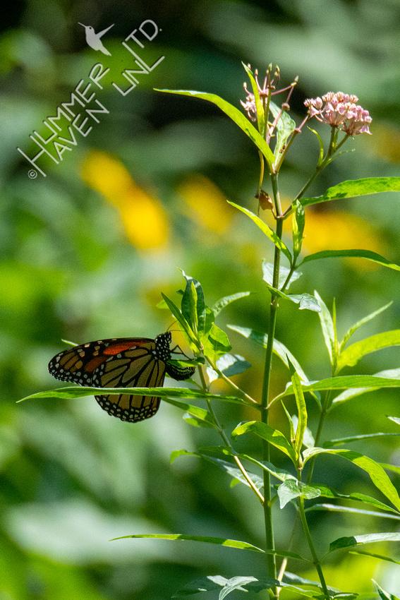 8-16-21 Monarch laying eggs on Marsh Milkweed