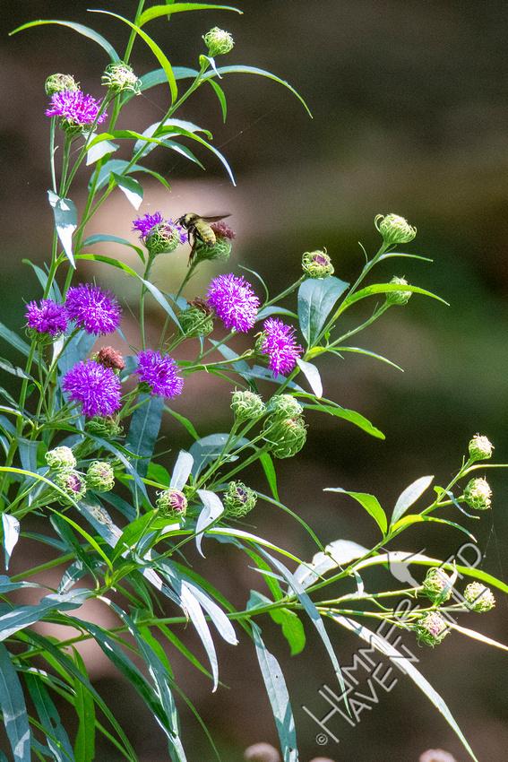 8-16-21 American Bumble Bee male on Ironweed (Vernonia arkansana)