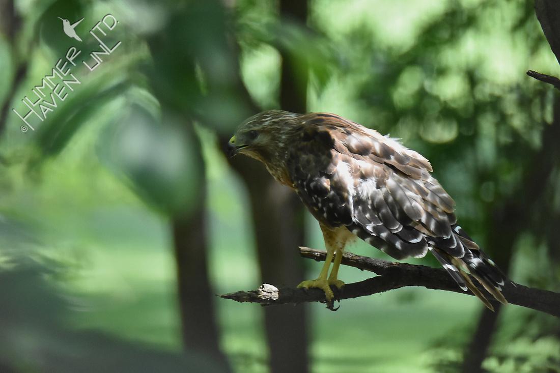 Red-shouldered Hawk 7-10-18