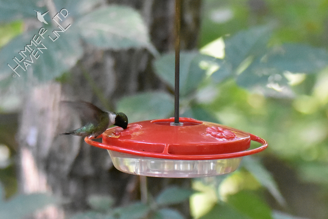 Ruby-throated Hummingbird 7-13-18