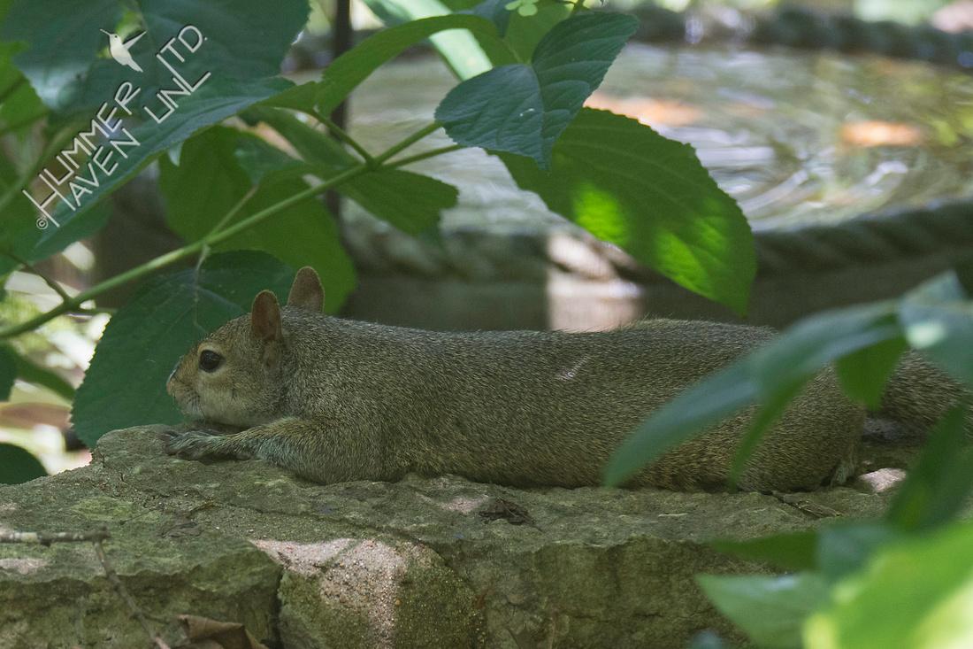 Eastern Gray Squirrel 7-10-18
