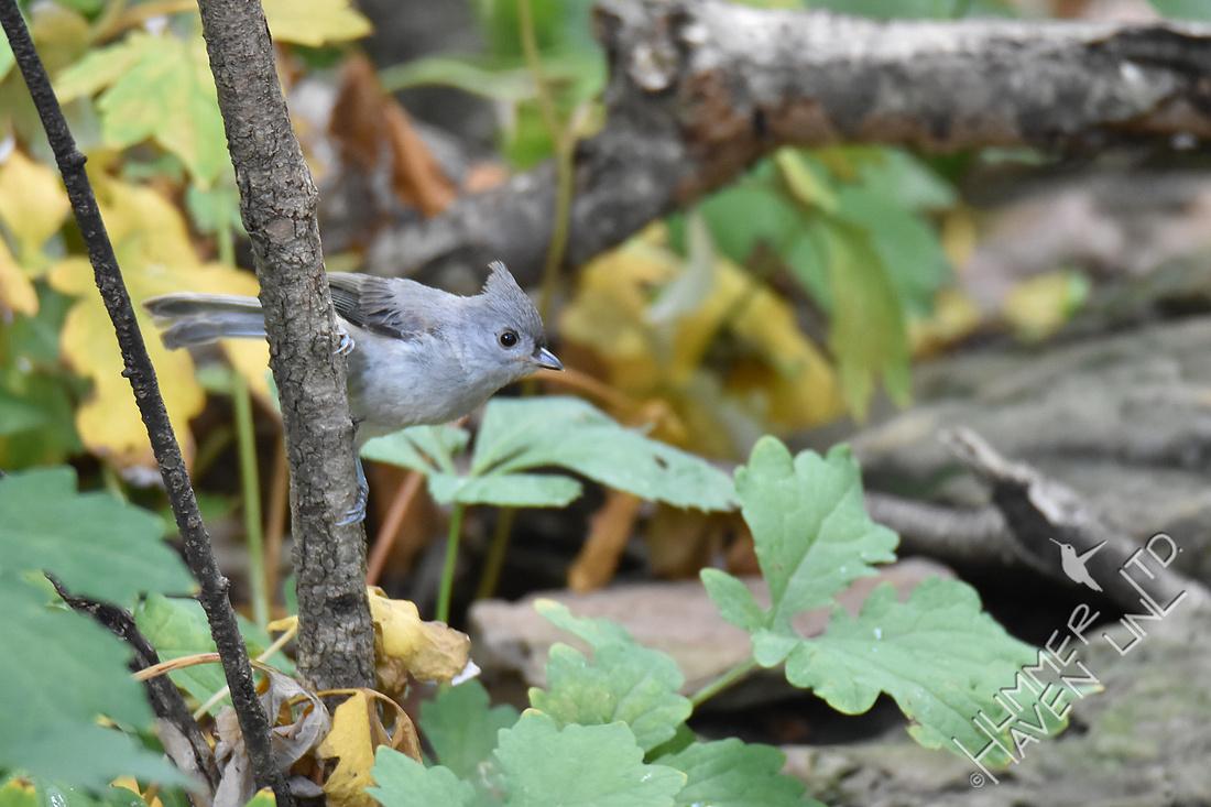Tufted Titmouse juvenile 7-21-18