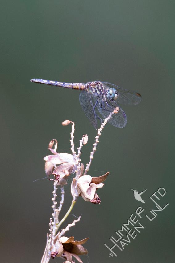 Blue Dasher female 7-21-18