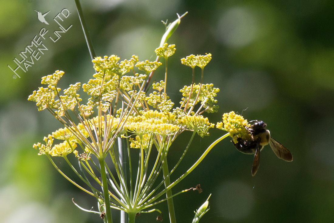 Bumblebee on Bronze Fennel  7-23-18