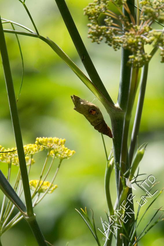 Eastern Black Swallowtail chrysalis on Bronze Fennel  7-23-18