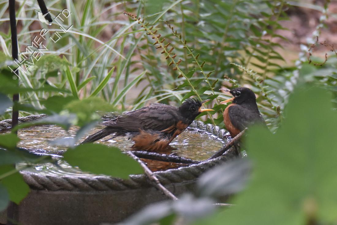 American Robins  7-16-18