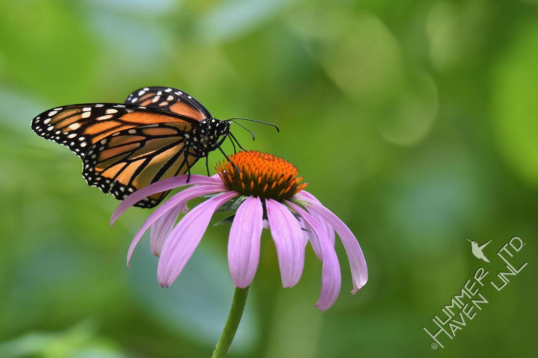 Monarch on Purple Coneflower 7-27-18