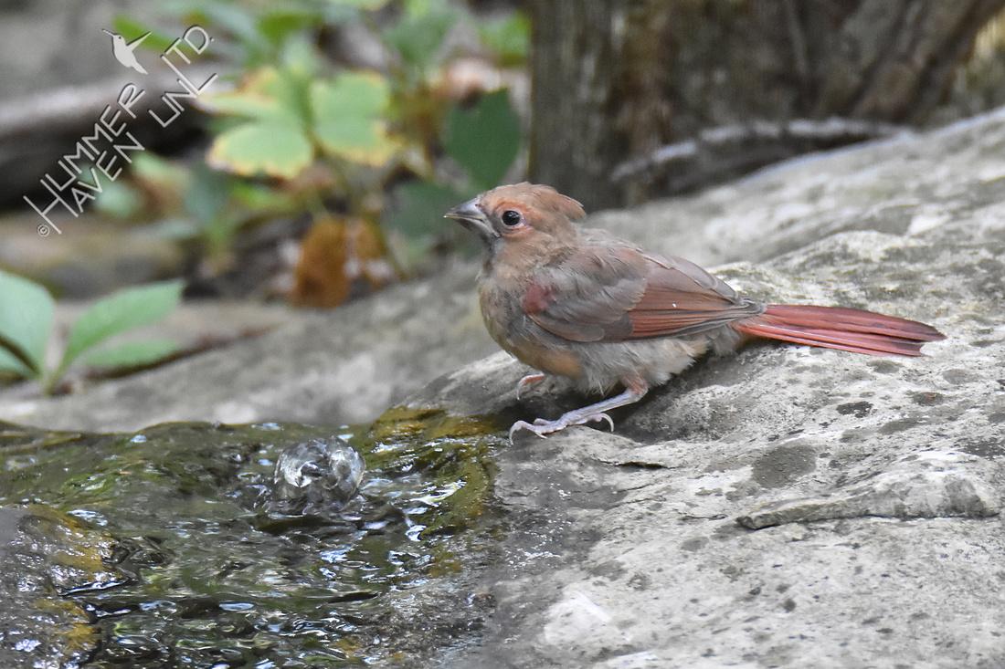 Northern Cardinal juvenile 7-24-18