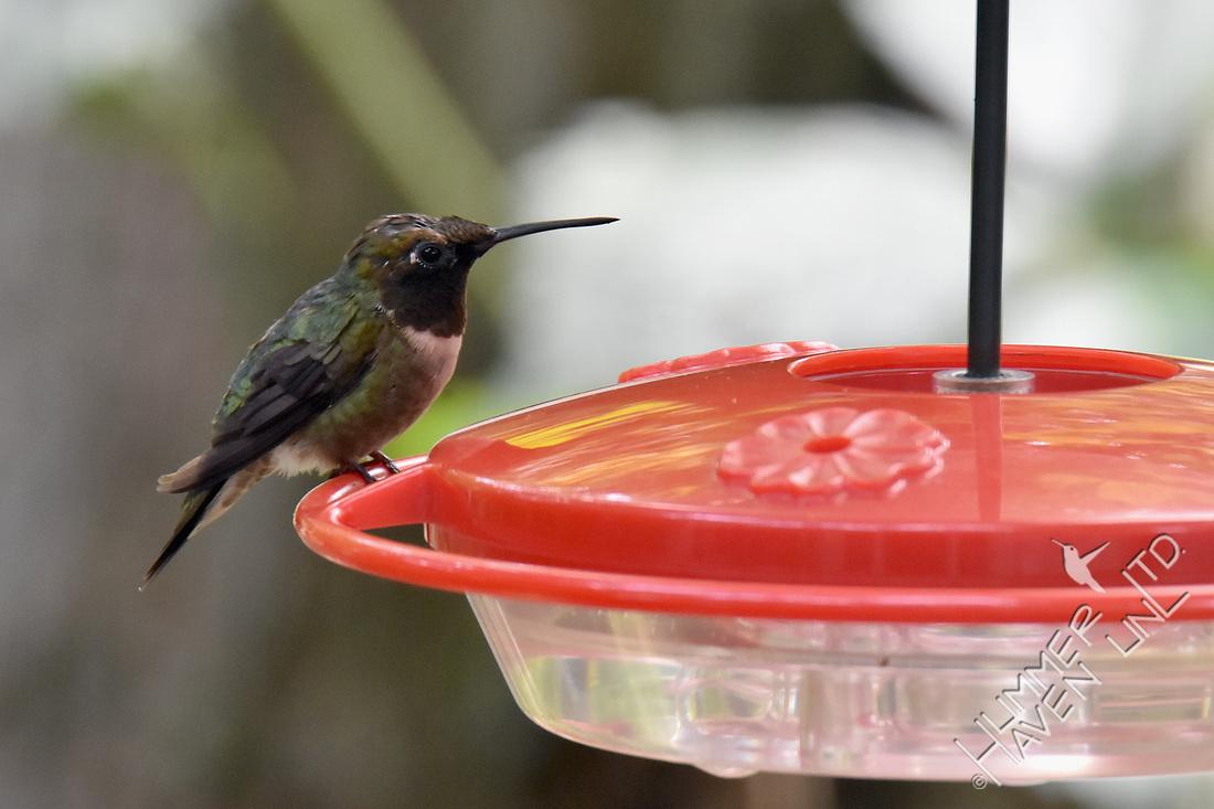 Ruby-throated Hummingbird 7-30-18