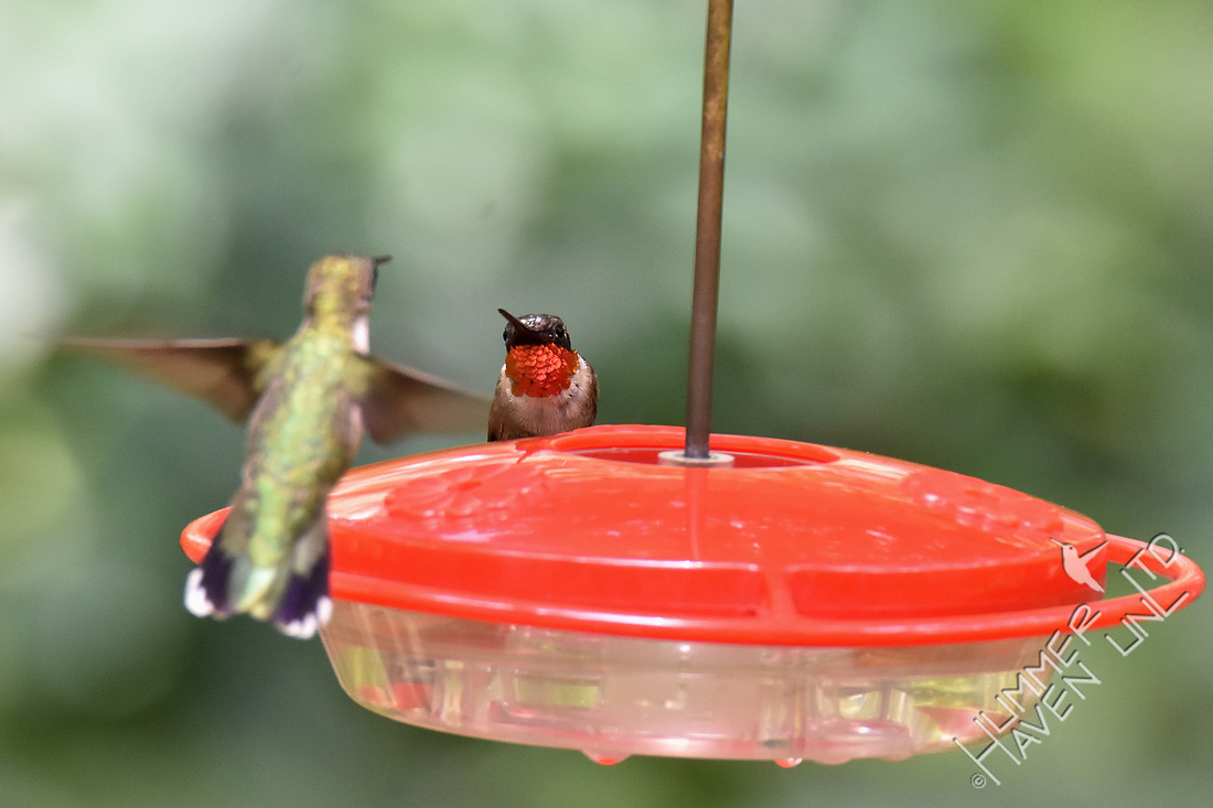 Ruby-throated Hummingbirds 7-30-18