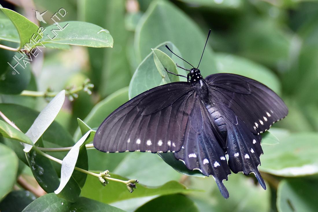 Spicebush Swallowtail female 7-30-18