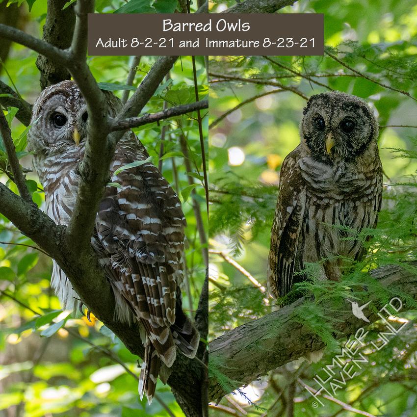 8-23-21 Barred Owl composite