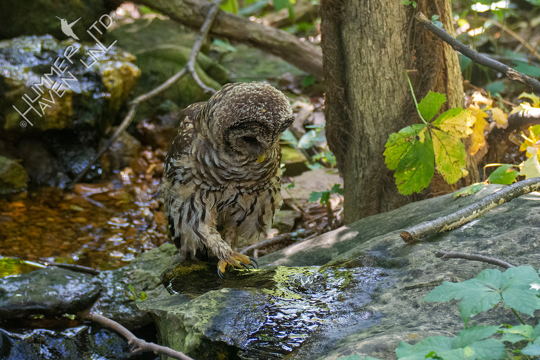 8-23-21 Barred Owlet