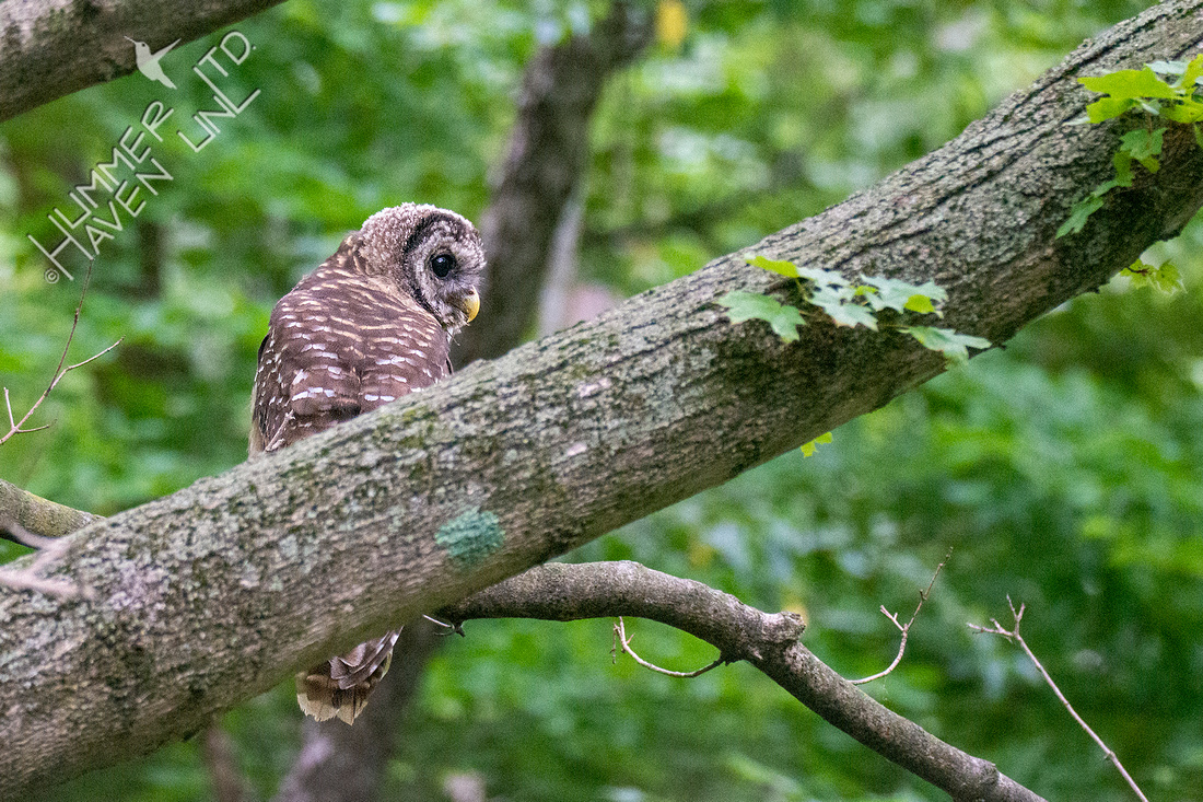 8-21-21 Barred Owlet